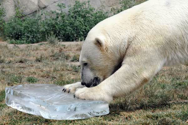Hudson, a  5 1&#47;2  -year-old polar bear at Brookfield Zoo, received a large block of ice to help keep him cool today. <span class=meta>(Jim Schulz&#47;Chicago Zoological Society)</span>