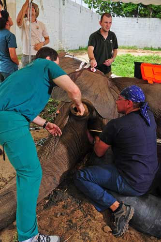 Dr. Barron Hall &#40;left&#41;, a board certified dentist and oral surgeon from the Animal Dental Clinic in Virginia, begins removal of infected pulp from the elephant?s tusk. Also assisting in the surgery were Drs. Michael Adkesson &#40;in background&#41;&#41; and Carlos Sanchez &#40;right&#41;, associate veterinarians for the Chicago Zoological Society?s Brookfield Zoo. <span class=meta>(Photo&#47;Barranquilla Zoo)</span>