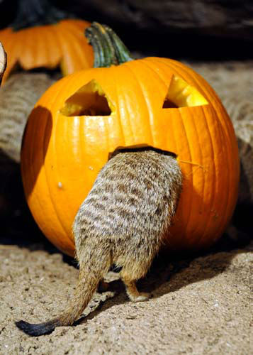 A meerkat at Brookfield Zoo attempts to crawl inside a carved out pumpkin to get at some tasty meal worms. During the fall season, many of the zoo?s other animals will be receiving pumpkins too. Zoo guests can see some of the animals receiving pumpkins during the annual Boo! at the Zoo celebration this coming weekend, October 27 and 28. <span class=meta>(Photo&#47;)</span>