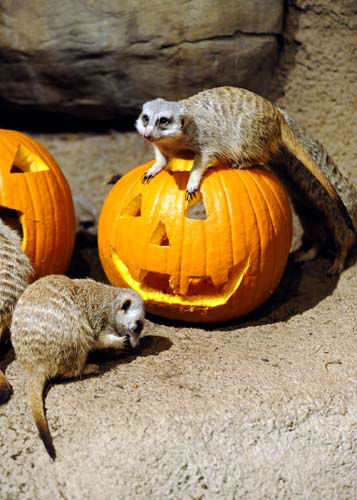 "<div class=""meta image-caption""><div class=""origin-logo origin-image ""><span></span></div><span class=""caption-text"">A family of meerkats at Brookfield Zoo was treated to pumpkins filled with tasty meal worms. During the fall season, many of the zoo?s other animals will be receiving pumpkins too. Zoo guests can see some of the animals receiving pumpkins during the annual Boo! at the Zoo celebration this coming weekend, October 27 and 28. (Photo/)</span></div>"