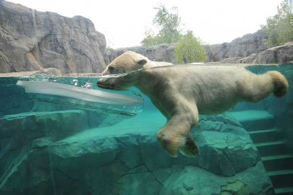 "<div class=""meta ""><span class=""caption-text "">Aussie, a 27-year-old polar bear at Brookfield Zoo, received a large block of ice to help keep him cool today. (Jim Schulz/Chicago Zoological Society)</span></div>"