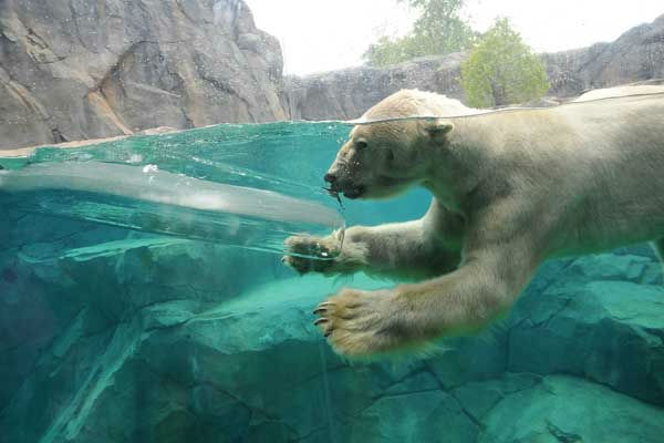 "<div class=""meta ""><span class=""caption-text "">Aussie, a 27-year-old polar bear at Brookfield Zoo, cools off with a large block of ice in his pool today. (Jim Schulz/Chicago Zoological Society)</span></div>"