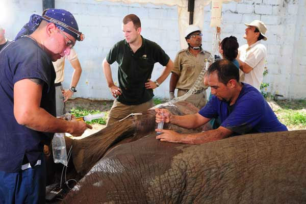 Dr. Camilo Tapia &#40;right&#41;, head of the Veterinary Department at Barranquilla Zoo administers a dose of an antibiotic to the elephant. He is assisted by Dr. Carlos Sanchez &#40;left&#41;, associate veterinarian for the Chicago Zoological Society?s Brookfield Zoo. <span class=meta>(Photo&#47;Barranquilla Zoo)</span>