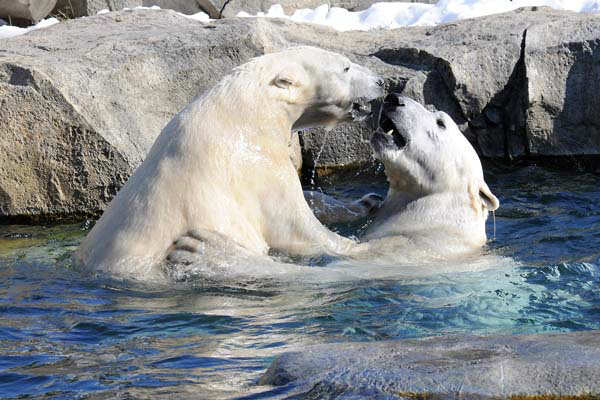 Carbon emissions contribute to climate change, according to a Brookfield Zoo release, which leads to the melting of sea ice polar bears need to survive.    <span class=meta>(Chicago Zoological Society&#47;Brookfield Zoo)</span>