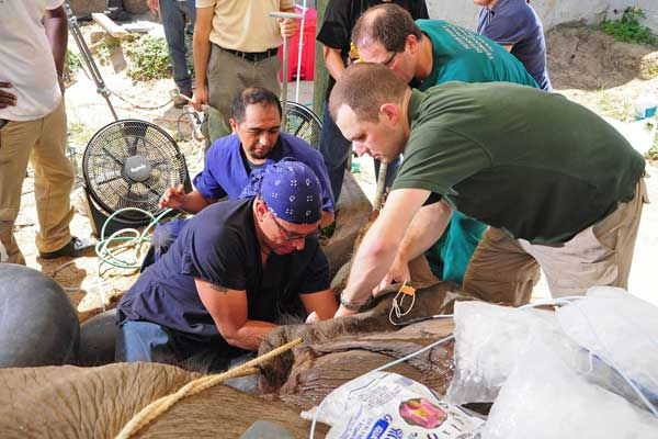 Drs. Carlos Sanchez &#40;left&#41; and Michael Adkesson &#40;right&#41;, associate veterinarians for the Chicago Zoological Society?s Brookfield Zoo, adjust the nearly three-inch diameter endotracheal used to maintain the elephant?s airway during the procedure. <span class=meta>(Photo&#47;Barranquilla Zoo)</span>