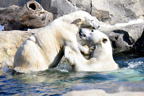 The zoo encourages people around the world to do the same, and learn more about the ongoing problems facing the polar bear at  www.polarbearsinternational.org.      <span class=meta>(Chicago Zoological Society&#47;Brookfield Zoo)</span>