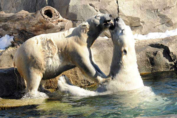 "<div class=""meta image-caption""><div class=""origin-logo origin-image ""><span></span></div><span class=""caption-text"">Polar Bear Day is every day at Brookfield Zoo's Great Bear Wilderness. But on Thursday, February 27, the Chicago Zoological Society celebrated International Polar Bear Day by turning down the heat two degrees in its non-animal buildings.   (Chicago Zoological Society/Brookfield Zoo)</span></div>"