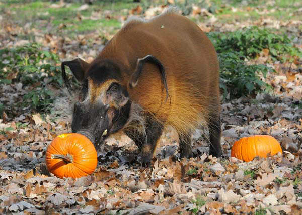 Bo, a 5-year-old red river hog at Brookfield Zoo, received a pint-size Halloween treat today. During the fall season, many of the zoo?s other animals will be receiving pumpkins too. Zoo guests can see some of the animals receiving pumpkins during the annual Boo! at the Zoo celebration this coming weekend, October 27 and 28. <span class=meta>(Photo&#47;)</span>