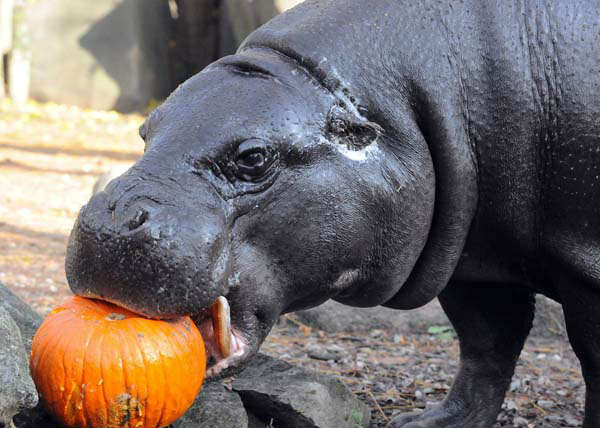 Obessa, a 24-year-old pygmy hippo at Brookfield Zoo, received a pint-size Halloween treat today. During the fall season, many of the zoo?s other animals will be receiving pumpkins too. Zoo guests can see some of the animals receiving pumpkins during the annual Boo! at the Zoo celebration this coming weekend, October 27 and 28. <span class=meta>(Photo&#47;)</span>