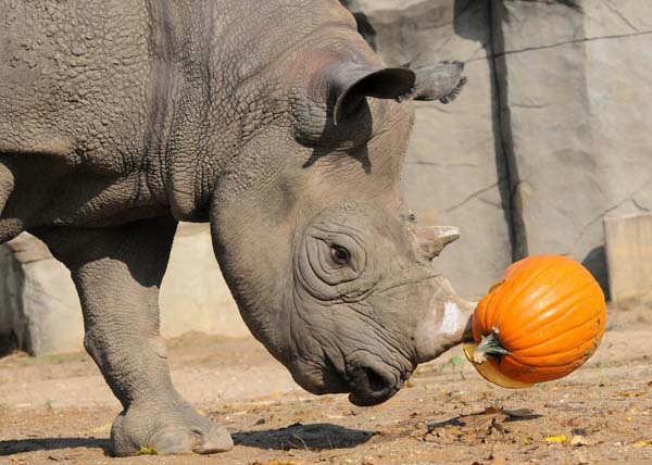 Jimma, a 27-year-old male rhino at Brookfield Zoo, seemed to enjoy a Halloween treat?a pumpkin. During the fall season, many of the zoo?s other animals will be receiving pumpkins too. Zoo guests can see some of the animals receiving pumpkins during the annual Boo! at the Zoo celebration this coming weekend, October 27 and 28. <span class=meta>(Photo&#47;)</span>