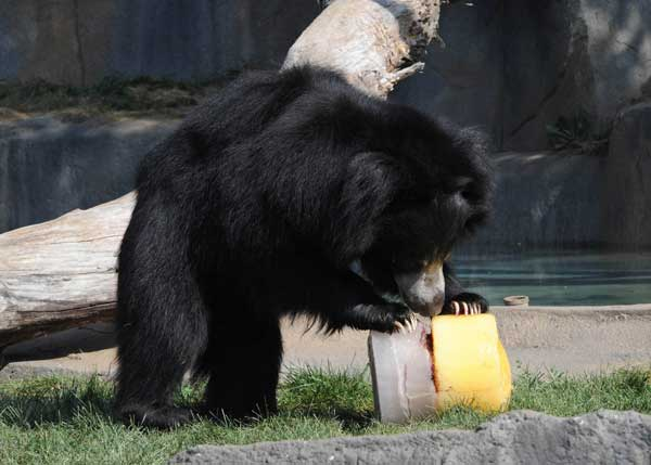 Hani, an 8-year-old sloth bear at Brookfield Zoo, enjoys an ice treat filled with juice and a variety of fruits. <span class=meta>(Jim Schulz&#47;Chicago Zoological Society)</span>