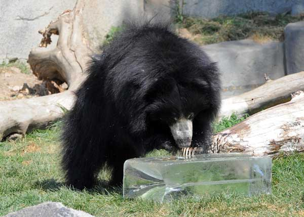 Kartik, a 3-year-old sloth bear at Brookfield Zoo is keeping cool thanks to a 200-pound block of ice donated by Lang Ice. <span class=meta>(Jim Schulz&#47;Chicago Zoological Society)</span>