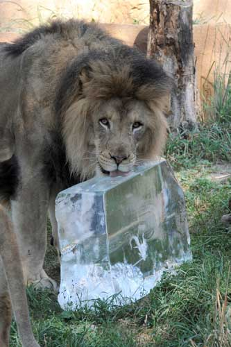 "<div class=""meta ""><span class=""caption-text "">Zenda, a 5-year-old African lion at Brookfield Zoo is keeping cool thanks to a 200-pound block of ice donated by Lang Ice. (Jim Schulz/Chicago Zoological Society)</span></div>"