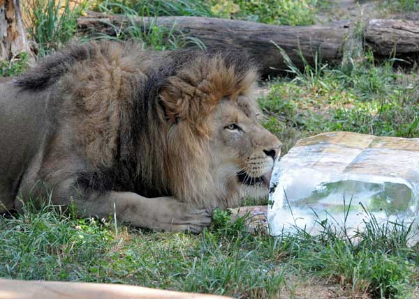 Zenda, a 5-year-old African lion at Brookfield Zoo is keeping cool thanks to a 200-pound block of ice donated by Lang Ice. <span class=meta>(Jim Schulz&#47;Chicago Zoological Society)</span>