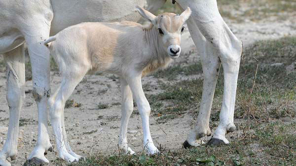 Mona, a 15-year-old addax, with her calf at Brookfield Zoo. The calf, born September 4, is the fourth male addax born at the zoo this summer. All the births are important for the species, which is near the brink of extinction in the Sahara deserts of Africa <span class=meta>(Jim Schulz&#47;Chicago Zoological Society)</span>
