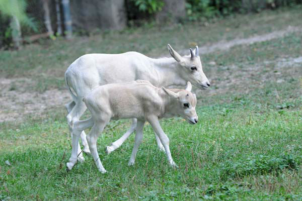 A male addax calf born September 4 at Brookfield Zoo with his half-brother Bradley, who was born August 11. Two other male addax born this summer on June 7 and 24 nearly doubles the zoo?s herd. All the births are important for the species, which is near the brink of extinction in the Sahara deserts of Africa <span class=meta>(Jim Schulz&#47;Chicago Zoological Society)</span>
