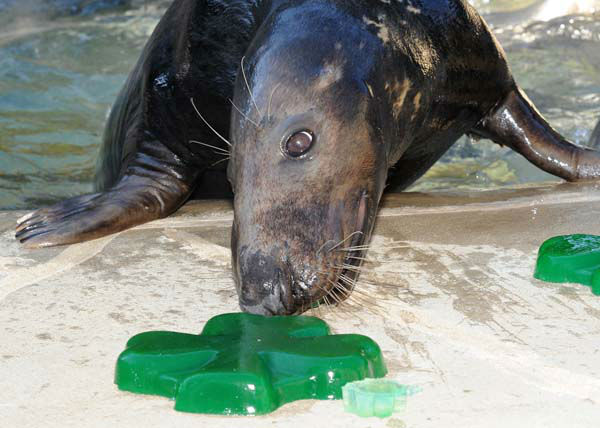 Boone, a 10-year-old grey seal at Brookfield Zoo, was treated to shamrock-shaped gelatin today in celebration of St. Patrick&#39;s Day.  <span class=meta>(Jim Schulz&#47;Chicago Zoological Society)</span>