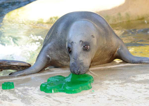 Lilly, a 10-year-old grey seal at Brookfield Zoo, seems to be enjoying the shamrock-shaped gelatin she received today in celebration of St. Patrick&#39;s Day. <span class=meta>(Jim Schulz&#47;Chicago Zoological Society)</span>