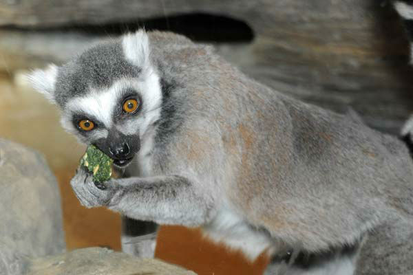 Marigold, a 22-year-old ring-tailed lemur at Brookfield Zoo&#39;s Hamill Family Play Zoo seems to be enjoying a shamrock-shaped monkey biscuit that was given to her today as a treat in celebration of St. Patrick&#39;s Day. <span class=meta>(Jim Schulz&#47;Chicago Zoological Society)</span>