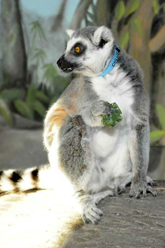Chloe, a 21-year-old ring-tailed lemur at Brookfield Zoo&#39;s Hamill Family Play Zoo, received shamrock-shaped monkey biscuits today in celebration of St. Patrick?s Day. <span class=meta>(Jim Schulz&#47;Chicago Zoological Society)</span>