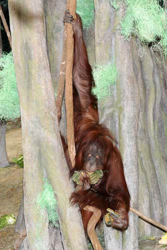 Sophia, a 33-year-old Bornean orangutan at Brookfield Zoo, is gathering all the shamrock-shaped monkey biscuits she can. Zookeepers gave her the treats in celebration of St. Patrick&#39;s Day as well as decorated the Tropic World: Asia exhibit with green-colored wood wool. <span class=meta>(Jim Schulz&#47;Chicago Zoological Society)</span>