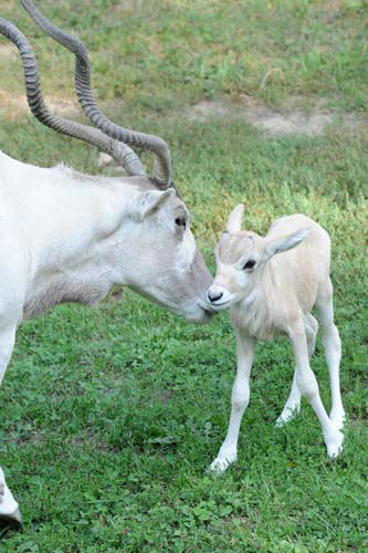 "<div class=""meta ""><span class=""caption-text "">Mona, a 15-year-old addax, with her calf at Brookfield Zoo. The calf, born September 4, is the fourth male addax born at the zoo this summer. All the births are important for the species, which is near the brink of extinction in the Sahara deserts of Africa (Jim Schulz/Chicago Zoological Society)</span></div>"