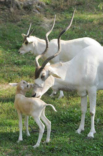 "<div class=""meta ""><span class=""caption-text "">A male addax calf born September 4 at Brookfield Zoo with his mom, Mona. Pictured in the background is another addax born earlier in the year on June 7. In total, four male addax were born at the zoo nearly doubling its herd. All the births are important for the species, which is near the brink of extinction in the Sahara deserts of Africa (Jim Schulz/Chicago Zoological Society)</span></div>"