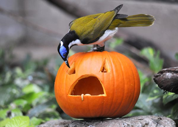 "<div class=""meta ""><span class=""caption-text "">A blue-faced honeyeater enjoys a Halloween treat filled with tasty waxworms at Brookfield Zoo.  (Jim Schulz/Chicago Zoological Society)</span></div>"