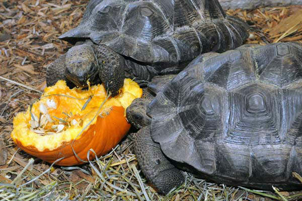 Two 4-year-old Galapagos tortoises at Brookfield Zoo seem to be enjoying the innards of a pumpkin given to them by their keepers. <span class=meta>(Jim Schulz&#47;Chicago Zoological Society)</span>
