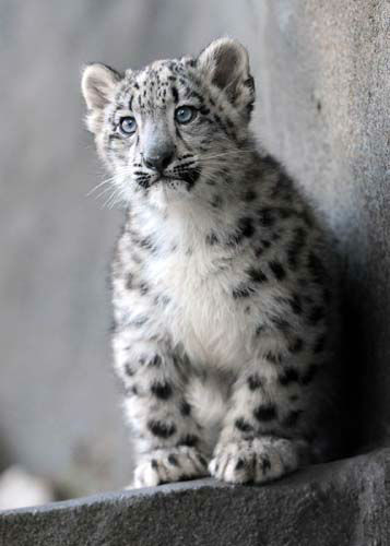 "<div class=""meta ""><span class=""caption-text "">A 3-month-old snow leopard is on exhibit with his mom, Sarani, 3, at Brookfield Zoo.  (Chicago Zoological Society/ Brookfield Zoo)</span></div>"