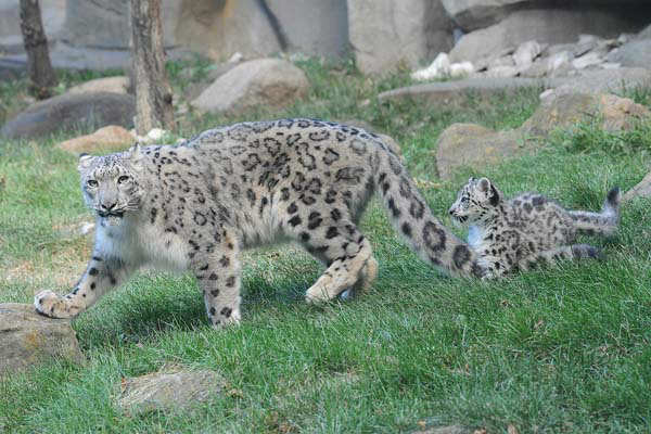 Snow leopards are listed as an endangered species by the International Union for Conservation of Nature &#40;IUCN&#41;, the world&#39;s oldest and largest global environmental organization.  <span class=meta>(Chicago Zoological Society&#47; Brookfield Zoo)</span>