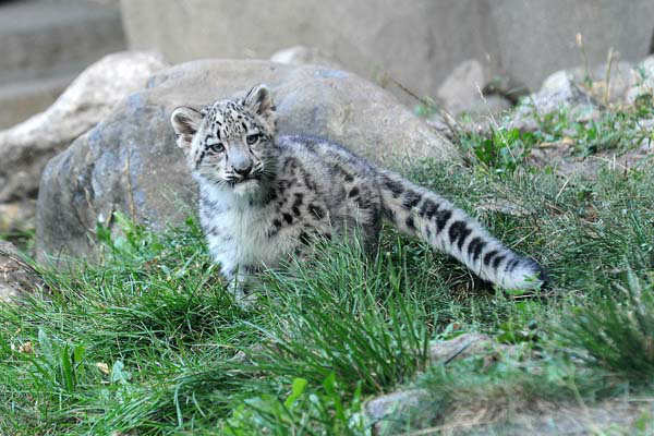 A leading snow leopard conservation organization, The Snow Leopard Trust, estimates population numbers of this elusive cat to be between 3,500 and 7,000 remaining in the wild.  <span class=meta>(Chicago Zoological Society&#47; Brookfield Zoo)</span>