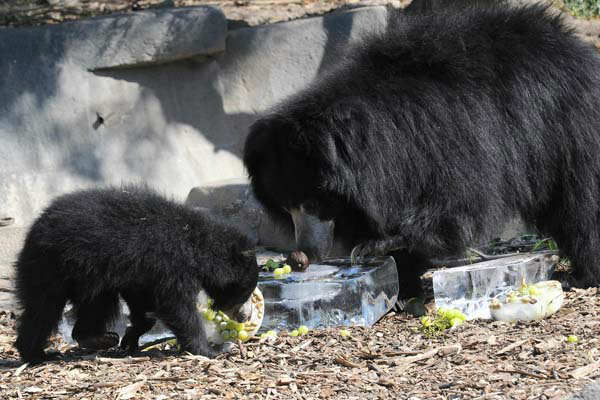 "<div class=""meta ""><span class=""caption-text "">Hani, a 10-year-old sloth bear, and her 6-month-old cub, keep cool at Brookfield Zoo with some frozen ice treats. (Jim Schulz/Chicago Zoological Society)</span></div>"