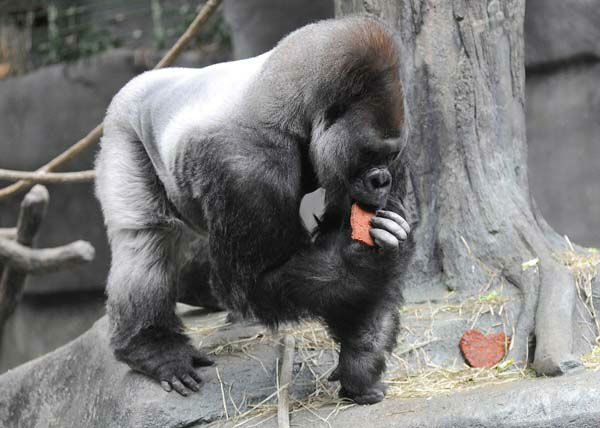 JoJo, a 32-year-old western lowland gorilla at Brookfield Zoo, enjoys a heart-shaped treat for Valentine?s Day. The nutritious cookies are made of ground primate biscuit, oatmeal, bananas, raisins, and peanut butter. The Animal Programs staff for the Chicago Zoological Society is always thinking of ways to physically and mentally stimulate the animals at Brookfield Zoo. One way is by providing them with a variety of different enrichment and food items they normally do not receive on a regular basis.  <span class=meta>(Photo&#47;Jim Schulz&#47;Chicago Zoological Society)</span>