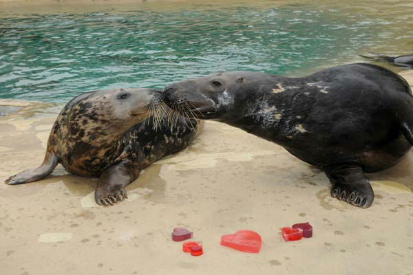 Brookfield Zoo?s grey seals Tasha, 9 &#40;left&#41;, and Boone, 9, give their seal of approval for the heart-shaped gelatin and ice treats they received for Valentine?s Day. The Animal Programs staff for the Chicago Zoological Society is always thinking of ways to physically and mentally stimulate the animals at Brookfield Zoo. One way is by providing them with a variety of different enrichment and food items they normally do not receive on a regular basis.  <span class=meta>(Photo&#47;Jim Schulz&#47;Chicago Zoological Society)</span>