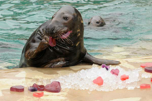 Boone, a 9-year-old grey seal at Brookfield Zoo, seems to enjoy the heart-shaped gelatin and ice treats he received for Valentine?s Day. The Animal Programs staff for the Chicago Zoological Society is always thinking of ways to physically and mentally stimulate the animals at Brookfield Zoo. One way is by providing them with a variety of different enrichment and food items they normally do not receive on a regular basis. <span class=meta>(Photo&#47;Jim Schulz&#47;Chicago Zoological Society)</span>