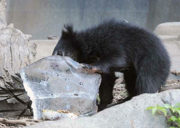 A 6-month-old sloth bear cub cools off with a frozen treat at Brookfield Zoo. With temperatures reaching the 90s, staff gave some of the animals ice blocks topped with fruits and corn syrup. <span class=meta>(Jim Schulz&#47;Chicago Zoological Society)</span>