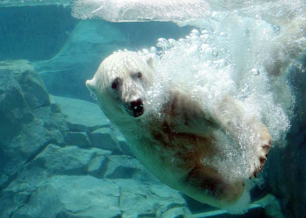 Hudson, one of the polar bears at Brookfield Zoo, seems to be enjoying a cool swim and a giant ice block. Staff gave some of the animals the frozen treats as temperatures climbed in the 90s today in the Midwest. <span class=meta>(Jim Schulz&#47;Chicago Zoological Society)</span>