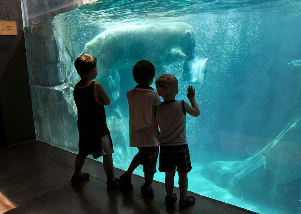 Youngsters watch as Hudson, one of the polar bears at Brookfield Zoo, seems to be enjoying a cool swim and a giant ice block. Staff gave some of the animals the frozen treats as temperatures climbed in the 90s today in the Midwest. <span class=meta>(Jim Schulz&#47;Chicago Zoological Society)</span>