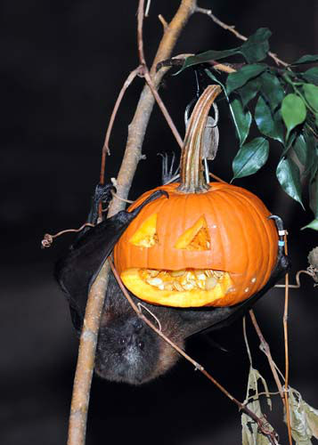 A Rodrigues fruit bat at Brookfield Zoo&#39;s Australia House is hanging around with a Halloween treat. Animal Programs staff carved the pumpkin so the bat could get to the tasty innards that were also filled with a variety of fruit. <span class=meta>(Jim Schulz&#47;Chicago Zoological Society)</span>