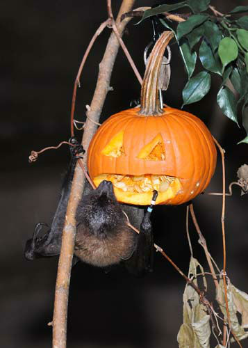 "<div class=""meta ""><span class=""caption-text "">A Rodrigues fruit bat at Brookfield Zoo's Australia House is hanging around with a Halloween treat. Animal Programs staff carved the pumpkin so the bat could get to the tasty innards that were also filled with a variety of fruit. (Jim Schulz/Chicago Zoological Society)</span></div>"