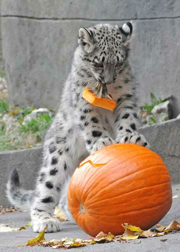"<div class=""meta image-caption""><div class=""origin-logo origin-image ""><span></span></div><span class=""caption-text"">Everest, a 4 1/2-month-old snow leopard at Brookfield Zoo, seems to be enjoying a Halloween treat his keepers gave him on October 29. (Jim Schulz/Chicago Zoological Society)</span></div>"