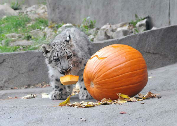 Everest, a 4 1&#47;2-month-old snow leopard at Brookfield Zoo, seems to be enjoying a Halloween treat his keepers gave him on October 29. <span class=meta>(Jim Schulz&#47;Chicago Zoological Society)</span>