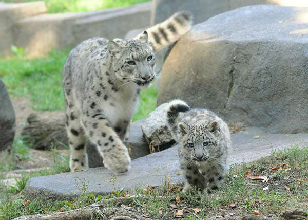 "<div class=""meta image-caption""><div class=""origin-logo origin-image ""><span></span></div><span class=""caption-text"">A 3-month-old snow leopard is on exhibit with his mom, Sarani, 3, at Brookfield Zoo.  (Chicago Zoological Society/ Brookfield Zoo)</span></div>"