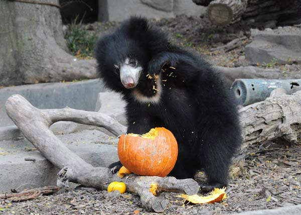 Vickie, a 10-month-old sloth bear at Brookfield Zoo, rips apart a pumpkin to get to its tasty innards. <span class=meta>(Jim Schulz&#47;Chicago Zoological Society)</span>