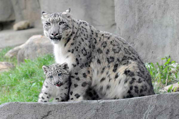 The cub, born on June 13, can be seen on exhibit with his 3-year-old mom, Sarani.  <span class=meta>(Chicago Zoological Society&#47; Brookfield Zoo)</span>