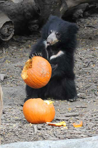 "<div class=""meta ""><span class=""caption-text "">Bhalu, a 10-month-old sloth bear at Brookfield Zoo, seems to be enjoying a Halloween treat. (Jim Schulz/Chicago Zoological Society)</span></div>"