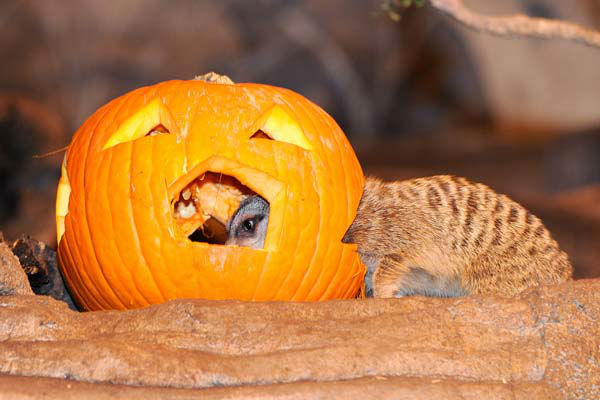 A meerkat at Brookfield Zoo, sticks his head inside a carved out pumpkin to get at the seeds as well as some tasty mealworms. <span class=meta>(Jim Schulz&#47;Chicago Zoological Society)</span>
