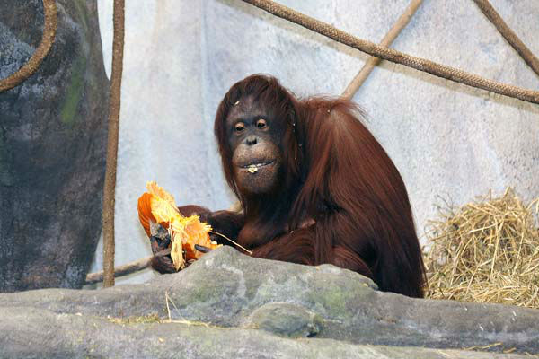 "<div class=""meta ""><span class=""caption-text "">Sophia, a 32-year-old Bornean orangutan, and several other animals received Halloween treats - pumpkins - today, October 29 at Brookfield Zoo. (Jim Schulz/Chicago Zoological Society)</span></div>"