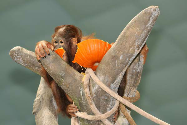 Kekasih, a 5-year-old Bornean orangutan at Brookfield Zoo, received a pumpkin for an early Halloween treat.  <span class=meta>(Jim Schulz&#47;Chicago Zoological Society)</span>